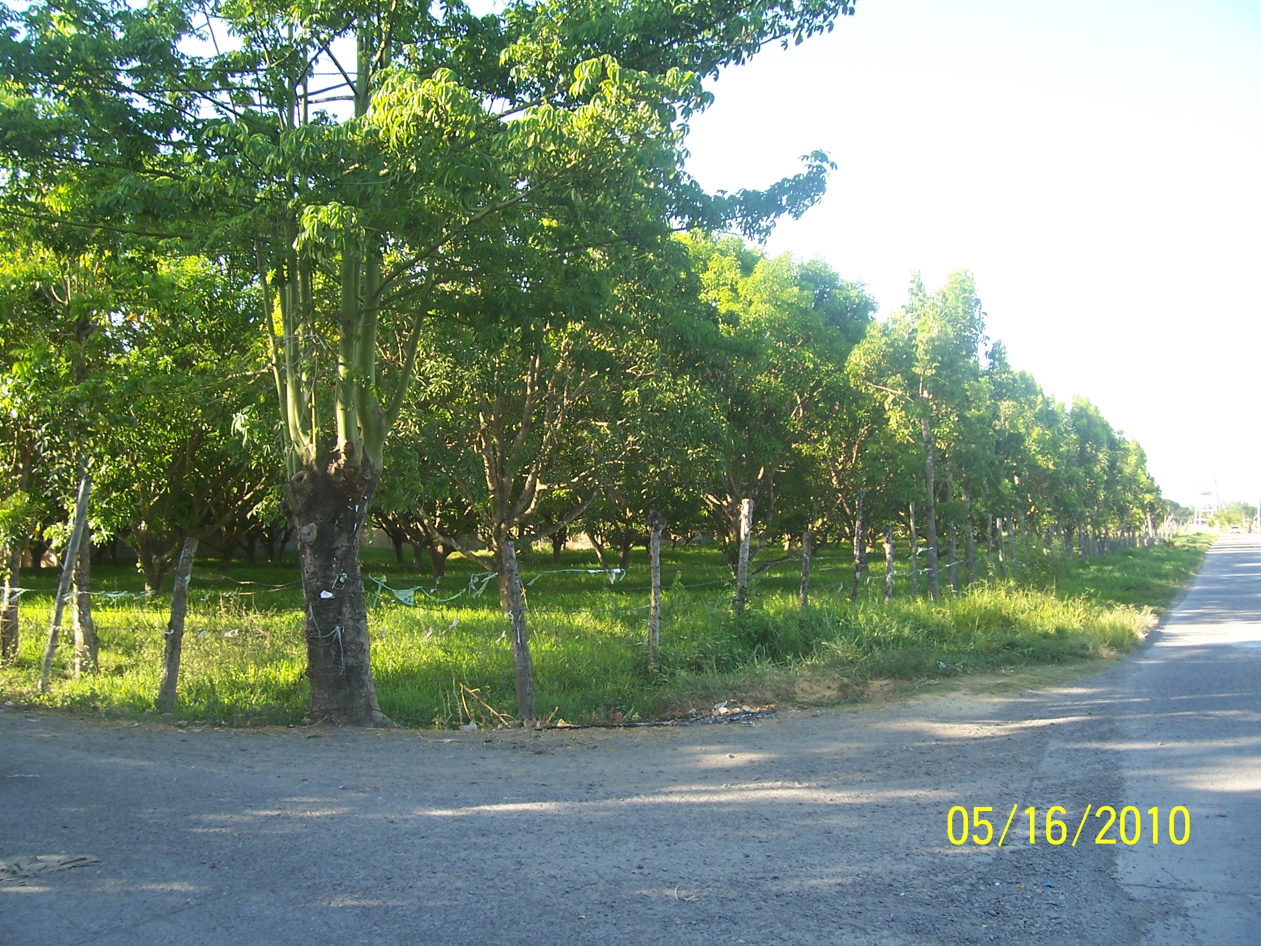 Residential lot with fruit bearing mango trees