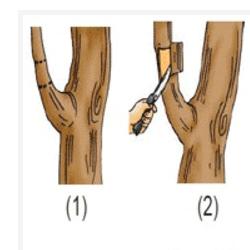 Cara Mencangkok Tanaman yang Benar dan Cepat Tumbuh