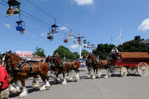 The Budweiser Clydesdales parading the grounds during the Fair.