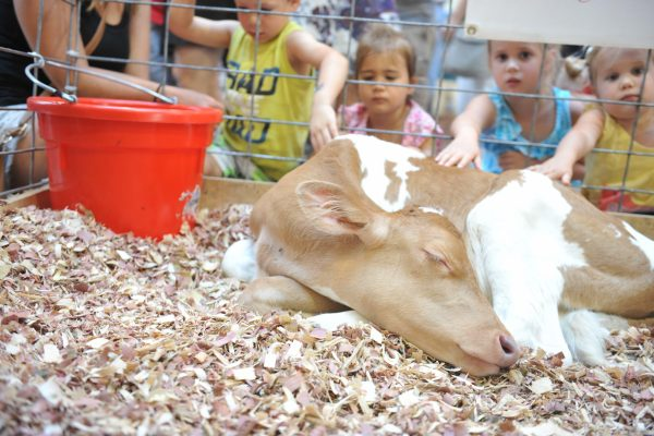A newborn calf sleeps peacefully surrounded by intrigued young Fairgoers.