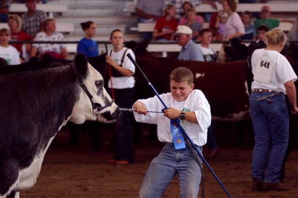 A young cattle exhibitor coaxes his entry at the Pioneer Livestock Pavilion.