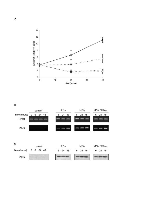 A/ Growth rate and survival of RAW 264.7 cells cultured in medium, or medium supplemented with LPS or IFN-γ or LPS+IFN-γ. RAW 264.7 cells were cultured (4 × 10 6 cells in 20 ml) in medium (• œ) or medium supplemented with either IFN-γ (50 U/ml -.), or LPS (5 μg/ml -) or a mixture of IFN-γ (50 U/ml) + LPS (5 μg/ml -). The number of live cells recovered at the indicated times was estimated using trypan blue exclusion. Similar results were obtained estimating the cell survival either by 3H-thymidine incorporation, or by the MTT reduction test. B/ <t>NOS2</t> <t>(iNOs)</t> mRNA induction in RAW 264.7 cultured with LPS or IFN-γ or LPS+IFN-γ. RAW 264.7 cells seeded into six-well plates (2.5 × 10 6 cells/well) were treated with the different stimuli as indicated above for the indicated times and analyzed by RT-PCR with specific primers for murine NOS2 (iNOs) (Table 1 ). HPRT was used as internal control for semi-quantitative estimation. C/ NOS2 (iNOs) protein in RAW 264.7 cultured with LPS or IFN-ã or LPS+IFN-γ. RAW 264.7 cells were treated with the different stimuli as indicated above for various times and cell pellets (1 × 10 6 cells) were lysed with lysis buffer. Protein concentrations in samples were adjusted and electrophoresed on 15% SDS-polyacrylamide gel, then transferred to nitro-cellulose membrane and Western bloted using polyclonal rabbit anti-murine NOS2 (iNOs), as described in Materials and Methods.