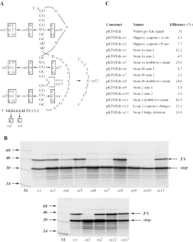 Analysis of the Edr frameshift signal by site-directed mutagenesis. ( A ) A series of mutations were introduced into the Edr frameshift region to modify the proposed slippery sequence (GGGAAAC, in bold) or pseudoknot. ( B ). Wild-type pKT0/ Edr or mutant derivatives were digested with HindIII, transcribed with SP6 RNA polymerase and transcripts translated in RRL at a concentration of ∼50 μg/ml. Products were labelled with [ 35 S]methionine, separated on 15% SDS/polyacrylamide gels and detected by autoradiography. The non-frameshifted (stop) and frameshifted (FS) species are marked with arrows. M represents 14 C protein markers (Amersham Pharmacia Biotech). ( C ) Summary of the mutations made and the resulting frameshift efficiencies. In constructs pKT0/ m5 , m8 and m11 , both arms of the relevant stem region were mutated such that the stems should reform (double/revertant).