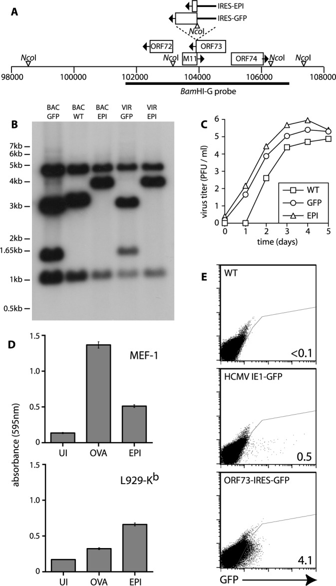 Modification of the MHV-68 Genome to Overcome cis- Acting Immune Evasion by ORF73 (A) An IRES element was inserted just downstream of ORF73, between its stop codon and that of M11. This allowed either three tandem CD8 + T cell epitopes (EPI) or GFP to be translated from the ORF73 mRNA. (B) DNA from BAC-cloned viral genomes (BAC) or virus-infected cells (VIR) was digested with NcoI, electrophoresed, transferred to nylon membranes, and blotted with a probe corresponding to the BamHI-G genomic fragment shown in (A). The predicted bands for WT virus were 1,021 bp, 3,121 bp, and 4,630 bp. The IRES-GFP insert introduced an NcoI site such that the WT 3,121-bp band was cut into 2,975-bp and 1,466-bp fragments. The NcoI site was lost from the IRES-EPI insert, such that the WT 3,121-bp band became a 3,861-bp band. (C) BHK-21 cells were infected (0.01 PFU/cell) with WT, GFP, or EPI viruses as indicated. Plaque titres of cell cultures are shown with time after infection. (D) H2 b MEF-1 cells or L929-K b cells were left uninfected (UI) or infected for 2 h with MHV-68 expressing either OVA under a strong lytic promoter (OVA) or the SIINFEKL epitope of OVA as part of the ORF73-IRES-EPI construct (EPI). B3Z cells were then added, and 18 h later their beta-galactosidase response was assayed using chlorophenol-red-beta- D -galactoside substrate. Mean ± SD values of triplicate cultures are shown. The data are from one or two equivalent experiments. (E) A20-syndecan-1 cells were infected (20 PFU/cell) with GFP − WT virus, WT virus with an HCMV IE1 promoter-driven GFP expression cassette (HCMV IE1-GFP), or with the ORF73-IRES-GFP virus. The numbers indicate the percentage of total cells in the gated region (GFP + ). Expression from the HCMV IE1 promoter is probably limited to lytic infection, whereas ORF73 is expressed in latency.