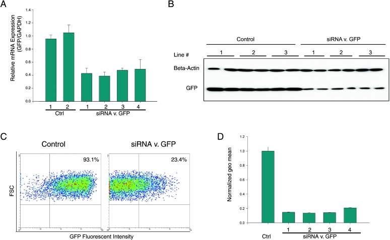 Inhibition of exogenous GFP expression using L1-based RNAi system. ( A ) Real-time RT–PCR results of GFP mRNA expression in stable HeLa lines expressing control or GFP-targeted siRNA ( n = 6). ( B ) Western-blot analysis of GFP expression in control or knockdown clones. ( C ) Typical FACS dot plots of GFP expression in control and knockdown clones. ( D ) Normalized GFP fluorescence in control and knockdown clones by FACS ( n = 4).