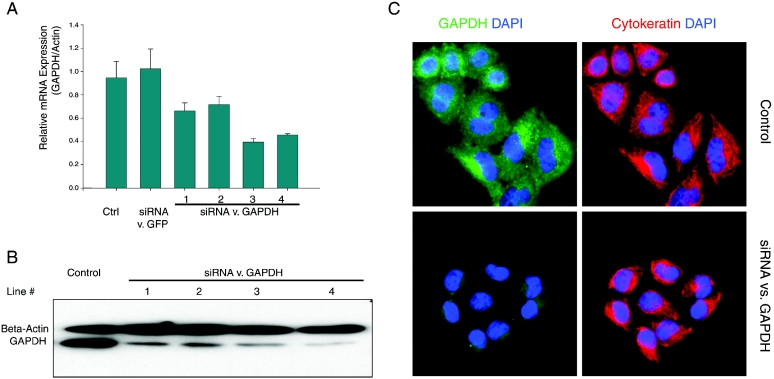 Inhibition of endogenous GAPDH expression using L1-based RNAi system. ( A ) Real-time RT–PCR results of GAPDH mRNA expression in stable HeLa lines expressing control, GFP-targeted or GAPDH-targeted siRNA ( n = 6). ( B ) Western-blot analysis of GAPDH protein expression in control or GAPDH knockdown clones. ( C ) Immunofluorescent staining of GAPDH (green) and cytokeratin (red) in control and knockdown cells. Nucleus is counterstained with DAPI (blue).