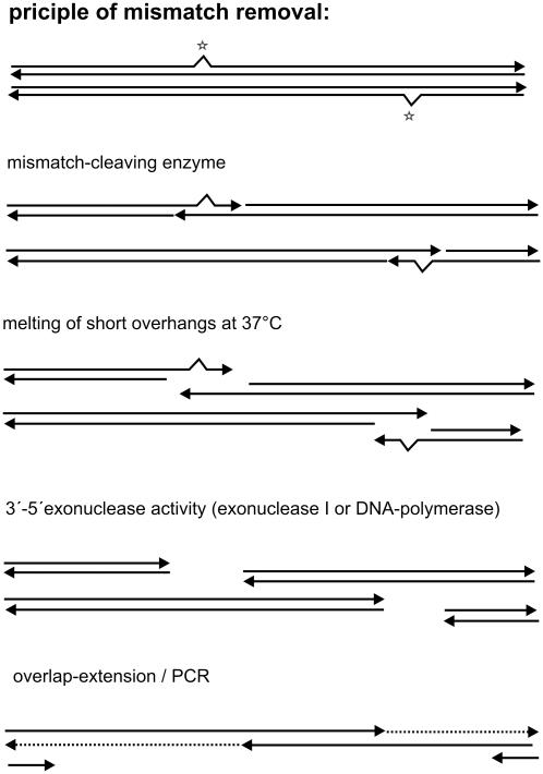 Principle of mismatch removal. In the first step, a double-stranded polynucleotide with a mismatching base pair, e.g. resulting from ligation of oligonucleotides in a gene synthesis reaction, is cleaved by the EMC enzyme in both strands, 2–5 bp downstream of the mismatch. The short overhangs thus generated dissociate immediately at the reaction temperature of 37°C. The resulting single-stranded overhangs can be removed by different strategies: addition of a single-strand-specific 3′–5′-exonuclease, e.g. E.coli <t>exonuclease</t> I in the EMC reaction or in a subsequent exonuclease step. Alternatively, the 3′–5′-exonuclease activity of proofreading polymerases can be used in the subsequent PCR. The proposed mechanism in this case is (i) removal of single-stranded overhangs during the initial heating step from 20 to 95°C or (ii) removal of mispaired bases by 'proofreading' in the first elongation cycle of the overlap extension PCR.