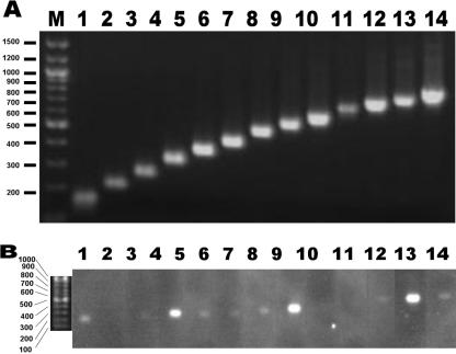 Agarose gel electrophoresis of RDA products with PCR products used for probes for hybridization ( A ) and a hybridized fluorogram ( B ). RNA was extracted from SARS-CoV-infected cells and subjected to RDA according to the method described in Materials and Methods. Mock-infected cells were used for the synthesis of driver amplicons for RDA. One-twentieth of the volume of the amplified products was separated on 3% agarose gels and blotted on a Nylon membrane. The membrane was then cut into slits that contained the lane showing the presence of DNA. On the other hand, the PCR fragments predicted to be amplified in the RDA reaction were amplified and subsequently ascertained by agarose gel electrophoresis (A). The amplified genomic fragments of SARS-CoV were Dig-labelled and used as probes for hybridization to each slit of the Nylon membrane containing the RDA product. Hybridization was performed in separate hybridization bags. After washing with 1× SSC and 0.1% SDS solution, the hybridized probes were detected on a fluorogram (B). Positions and sizes (bp) of markers are present on the left.