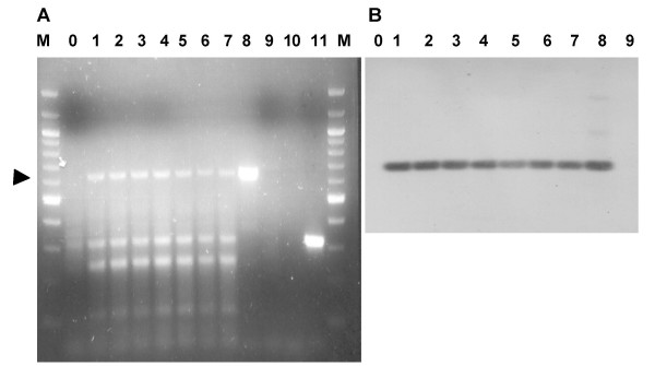 Analysis of KHV TK mRNA in KF-1 cell line infected with KHV . KF-1 cells were infected with KHV. At 0 to 7 days post infection total mRNA was prepared from the infected cells and was used in an RT-PCR reaction using primers TK-Rtforward- TK and RTr long (A). 0 time control mRNA was prepared immediately after infection. lanes: M- size markers, 1–8- mRNA of days 0–7 post infection, 9- direct PCR of KHV DNA, 10- uninfected KF-1 cells 11- RNase treated mRNA of day 5 post infection. To confirm the identity of the RT-PCR products, Southern blot hybridization (B) was performed using the cloned TK gene as probe and mRNA of days 0–7 lanes 1–8 consecutively, control KHV – lane 9, and uninfected KF-1 cells as negative control – lane10. The arrow marks the position of the 621 bp product.