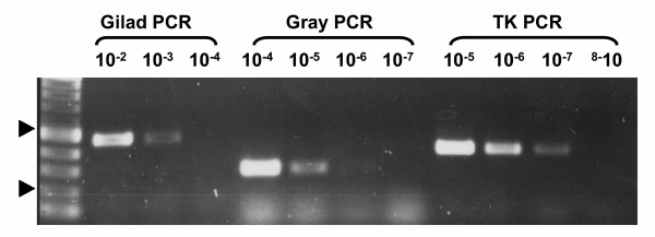 Sensitivity of three PCR assays for the diagnosis of KHV infection . A TK based PCR was used to detect KHV DNA and was compared to two other PCR protocols: the Gilad et al . (2002) and Gray et al . (2002). Details of primers, products and protocols are described in table 1. To compare the sensitivities of the assays, 10 fold serial dilutions of purified KHV DNA were prepared starting from 10 ng DNA per PCR reaction. PCR products were analyzed on a 1% agarose gel and visualized by ethidium bromide. For each protocol the highest dilutions that still give products are shown. The arrows denote the 200 and 500 bp. size markers.