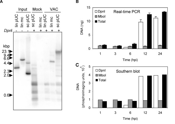 Replication of transfected DNA in VAC-infected cells. (A) Southern blot of replicated circular plasmid and linear minichromosome. B-SC-1 cells were infected with VAC and 1 h later transfected with equal molar amounts (20 fmol) of super coiled pUC13 (sc pUC), pUC13 linearized by digestion with EcoR I (lin pUC), linear minichromosome containing pUC13 and 1.3 kbp viral telomeric sequences (lin mc). As a control, cells were mock infected and transfected with 20 fmol of linear minichromosome or 10 times that amount (200 fmol) of super coiled pUC13. At 24 h after infection or mock infection, cells were collected and total DNA extracted. Total DNA (2 μg) was digested with Dpn I subjected to agarose gel electrophoresis and analyzed by Southern blot hybridization using a 32 P-labeled pUC13 probe. Samples (0.5 fmol of lin pUC, 0.5 fmol of lin mc, 1 fmol sc pUC) of the DNA used for transfections (input DNA) were also analyzed. The positions of marker DNA (kbp) are shown on the left. (B) Real-time PCR of replicated plasmid. BS-C-1 cells were transfected with the plasmid p716 at 24 h prior to infection with VAC. At indicated hours post infection (hpi), cells were harvested and total DNA extracted. DNA was untreated or treated with Dpn I or Mbo I and analyzed by real-time PCR using primers specific to plasmid DNA. (C) Quantification of Southern blot. DNA described in panel (B) was digested with EcoR I prior to Mbo I or Dpn I treatment. The digested DNA samples were subjected to gel electrophoresis, transferred to a Nylon membrane, hybridized to a 32 P-labeled p716 probe, and the radioactivity quantified with a phosphoImager.