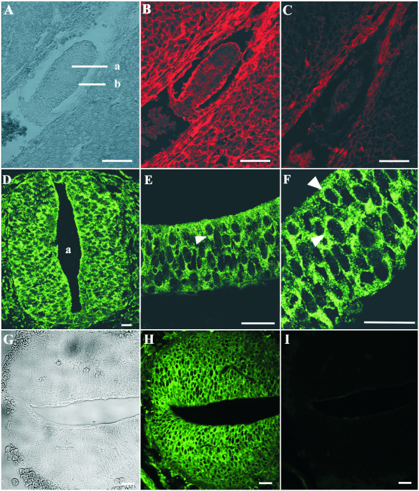Annexin A7 immunoreactivity in early mouse embryos. ( A ) Phase contrast, embryo E5: The egg cylinder consists of an inner cell mass (a) representing the ectoderm and an outer layer of endoderm cells (b). (B) Immunostaining of the paraffin section was performed using purified mAb 203–217 and Cy3-conjugated anti-mouse IgG. Annexin A7 is expressed in both cell types of the egg cylinder with a strong staining of the endoderm and a weaker staining of the ectoderm. The nuclei are devoid of immune reactions. ( C ) Negative control using the secondary Cy3-antibody only. ( D-F ) Annexin A7 expression in the proximal neural tube (D) and nearby neural fold (E,F), embryo E8, transverse section. Immunolabeling of Annexin A7 was performed with purified mAb 203–217 and visualization was with an Alexa Fluor 488-conjugated anti-mouse IgG. ( D ) An intense Annexin A7 immunostaining is detectable in the neuroepithelium of the neural tube (a, lumen of neural tube). ( E,F ) Higher magnifications of the neuroepithelium show that Annexin A7 is expressed in the cytosol. Arrowheads point to Annexin A7 immunoreactivity in the cytosol. ( G ) Phase contrast, embryo E13, caudal neural tube. (H) Immunostaining of the paraffin section was performed using purified mAb 203–217 and Alexa Fluor 488-conjugated anti-mouse IgG. ( I ) Negative control using the secondary Alexa Fluor 488-antibody only. Bar, 20 μm.