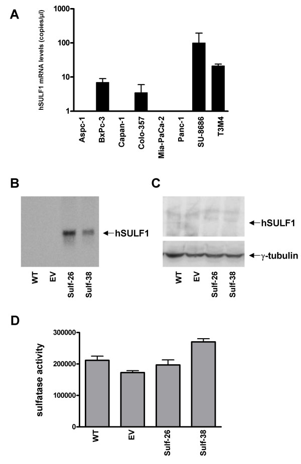 Expression of Hsulf-1 in pancreatic cancer cell lines (A) Quantification of Hsulf-1 mRNA levels in pancreatic cancer cell lines by real time QRT-PCR as described in the Materials and Methods section. Values are normalized to housekeeping genes (cyclopilin B and HRPT), and presented as mean ± SD. (B/C) Panc-1 cells were stable transfected with a Hsulf-1 sense expression plasmid as described in the Material and Methods section. (B) Hsulf-1 sense RNA expression in Panc-1 cells was verified by Northern blot analysis using a radiolabeled Hsulf-1 antisense riboprobe. A sample Northern blot of 2 controls and 2 transfected clones is shown. (C) Expression of c-myc tagged Hsulf-1 (arrow) by immunoblot analysis as described in the Materials and Methods section. Equal loading of the protein samples was confirmed using anti-γ-tubulin antibodies. (D) Sulfatase activity was measured as described in Material and Methods section in control and positive transfected clones. Data are expressed as relative fluorescence and presented as mean ± SD.
