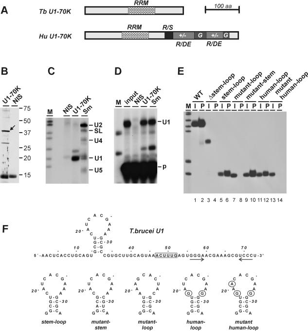 TbU1-70K is a U1 snRNP-specific protein and binds in vitro specifically to the 5′ loop sequence of U1 snRNA. ( A ) Comparison of the domain structures of T.brucei (Tb08.4A8.530) and the human U1-70K (A25707) proteins. ( B ) Western blot analysis of T.brucei U1 snRNP proteins. U1 snRNPs were affinity-purified from T.brucei extract by a 2′- O -methyl RNA antisense oligonucleotide, protein was prepared and analyzed by SDS–PAGE and western blotting, using polyclonal rabbit antibodies against TbU1-70K (U1-70K) or non-immune serum (NIS). The arrow points to the immunostained TbU1-70K band of apparent molecular weight 40 kDa. Protein markers are on the right (in kDa). ( C ) U1 snRNA is specifically coprecipitated from T.brucei extract by anti-Tb U1-70 antibodies. Immunoprecipitations were carried out from T.brucei extract, using NIS, or with antibodies against the TbU1-70K protein (U1-70K) or against the trypanosome Sm proteins (Sm). RNA was purified from the immunoprecipitates and analyzed by 3′ end labeling with [ 32 P]pCp. The positions of the SL RNA and snRNAs are marked on the right. M , 32 P-labeled pBR322/HpaII markers. ( D ) RNA from the same immunoprecipitates was also analyzed by primer extension with a U1-specific oligonucleotide. In addition, RNA from a 10% aliquot of the input was included; the positions of the primer ( p ) and the U1-specific primer-extension product (U1) are marked on the right. M , 32 P-labeled pBR322/HpaII markers. ( E ) 32 P-labeled T.brucei U1 snRNA and mutant derivatives [as indicated above the lanes; see (F)] were in vitro transcribed and incubated with GST-TbU1-70K, followed by GST pull-down. For each reaction, 10% of the input ( I ) and the total precipitated material ( P ) were analyzed. M , 32 P-labeled pBR322/HpaII markers. ( F ) Sequences and proposed secondary structures of the T.brucei U1 snRNA and its mutant derivatives. The boxed sequence in the T.brucei U1 snRNA indicates the Sm site; the two arrows indicate a potential seco