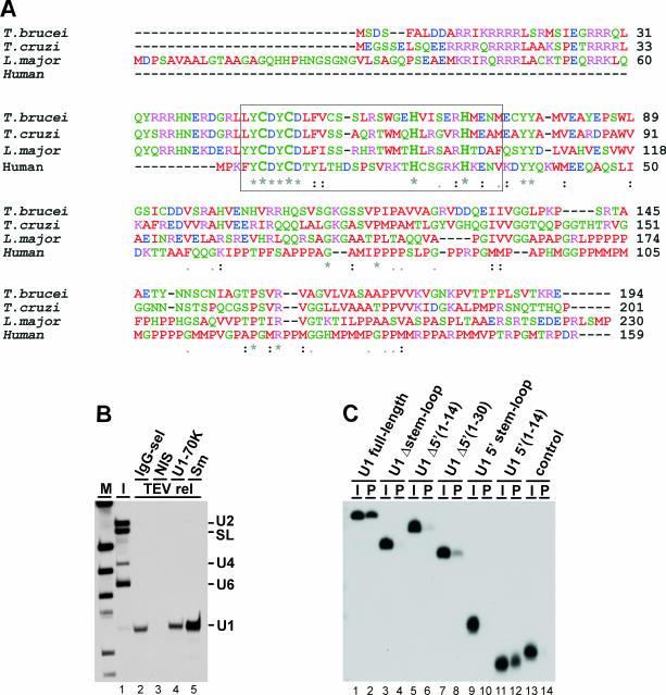 T.brucei U1C (TbU1C): a U1 snRNP-specific component binding specifically to the 5′ terminal sequence of U1 snRNA. ( A ) ClustalW alignment of the protein sequences for the newly identified U1C homologs from T.brucei , T.cruzi and L.major , in comparison with the human U1C sequence. The conserved C 2 H 2 -type Zn finger within the boxed sequence is highlighted by large-size letters; asterisks indicate absolutely conserved amino acid positions. Accession numbers (GeneDB): T.brucei (Tb10.70.5640), T.cruzi (Tc00.1047053511367.354) and L.major (LmjF21.0320); human U1C (P09234). ( B ) Extract was prepared from a T.brucei cell line, which stably expresses TAP-tagged TbU1C protein, and used to affinity-purify TAP-tagged complexes. Purification was followed by analyzing copurifying RNAs by northern blotting, using a mixed snRNA probe (snRNA positions indicated on the right). M , DIG marker V (Roche). Lane 1, 1% of input; lane 2, 10% of IgG-selected and TEV-released material. Affinity-purified complexes were then immunoprecipitated with NIS (lane 3), anti TbU1-70K (lane 4) or anti-Sm antibodies (lane 5), using 30% for each immunoprecipitation. ( C ) TbU1C protein binds specifically to the 5′ terminal sequence of U1 snRNA. GST TbU1C protein was incubated with 32 P-labeled full-length U1 snRNA (lanes 1 and 2) and various U1 snRNA derivatives: U1 Δstem–loop (lanes 3 and 4), U1 Δ5′(1–14) (lanes 5, 6), U1 Δ5′(1–30) (lanes 7 and 8), U1 5′ stem–loop (lanes 9 and 10), U1 5′(1–14) (lanes 11 and 12) or a 17mer control RNA (lanes 13 and 14). In each case, 10% of the input ( I ) and the total GST pull-down material ( P ) were analyzed.