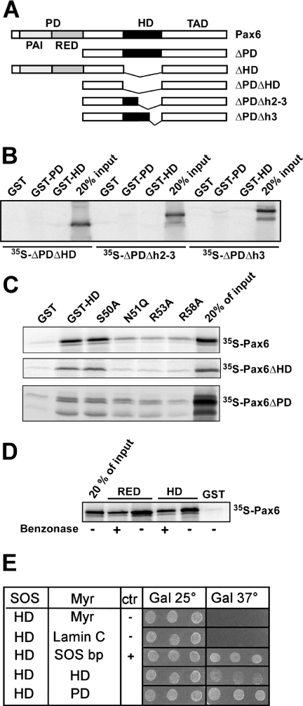 The recognition helix of the homeodomain of Pax6 is important for interaction with both the PD and the HD. ( A ) Pax6 constructs used for in vitro translation and GST pull-downs. ( B ) GST pull-down assays with Pax6 HD and PD fused to GST and immobilized on glutathione–agarose beads and Pax6ΔPDΔHD, Pax6ΔPDΔh2–3 or Pax6ΔPDΔh3 produced by in vitro transcription and translation in the presence of [ 35 S]methionine. An aliquot of 10 μl of the in vitro translation reactions was preincubated with GST immobilized on glutathione–agarose beads before incubation with the GST fusion proteins. The GST beads, GST-Pax6 HD beads and GST-Pax6 PD beads were washed several times before they were boiled in SDS loading buffer and run on a 10% SDS–polyacrylamide gel. An aliquot of 2 μl of the in vitro translated proteins was run on the same gel to visualize the signal from 20% of the input. ( C ) Point mutations in helix 3 of the homeodomain strongly reduce the ability of Pax6 HD to interact with the PD and the wild-type HD. The N51Q, R53A and R58A, but not S50A, mutants impede the HD–PD and HD–HD interactions. GST pull-down assays were performed with recombinant GST fusions of wild type or mutants of Pax6ΔHD against in vitro translated, [ 35 S]methionine-labeled Pax6, Pax6ΔHD or Pax6ΔPD. ( D ) The interactions between full-length Pax6 and the RED subdomain and between full-length Pax6 and the HD are independent of DNA. GST pull-down assays were done with Pax6 HD and RED fused to GST as in (C). Where indicated, the pull-down experiments were performed in the presence of 500 U benzonase to degrade both DNA and RNA. The results shown are representative of three independent experiments. ( E ) The PD–HD and HD–HD interactions of Pax6 are also observed in the yeast-based SOS recruitment interaction system. The temperature sensitive yeast strain S.cerevisiae cdc25-2 MATa was co-transformed either with pSOS-zfPax6-HDwt and empty pMYR or pMYR-LaminC as negative controls, pMYR-SOS binding protein as a positive control, pMYR-zfPax6-HDwt, or with pMYR-zfPax6-PDwt. Three independent colonies generated from each co-transformation were replica plated onto galactose plates and grown in parallel at 25 and 37°C for 6 days. The results shown are representative of three independent experiments.