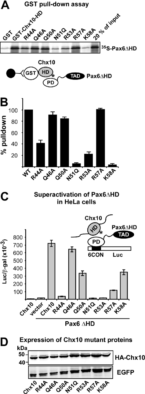 Mutation of basic amino acids in helix 3 of the Chx10 homeodomain leads to reduced interaction with and superactivation by Pax6ΔHD. ( A ) GST pull-down assays with Chx10 HD wild type and mutants fused to GST and immobilized on glutathione–agarose beads and Pax6ΔHD protein produced by in vitro transcription and translation in the presence of [ 35 S]methionine. ( B ) Quantitative representation of the interaction data determined as described in the legend to Figure 3 . ( C ) Effects of mutations in the recognition helix of the HD of Chx10 on superactivation of Pax6ΔHD-mediated transactivation from paired domain-binding sites. HeLa cells were co-transfected with 0.5 μg Pax6ΔHD, 0.5 μg pP6CON-LUC and 5 ng pCMV-βgal together with either 0.25 μg pcDNA3-HA vector, HAChx10 or HA-Chx10 mutants. HA-Chx10 co-transfected with the empty Pax6ΔHD control vector shows that Chx10 alone does not activate the P6CON LUC reporter. The data in (B) and (C) represent the mean of three independent experiments. ( D ) Western blot showing similar expression levels of wild type and all helix 3 mutants of Chx10 following transfection of HeLa cells. EGFP served as transfection control.