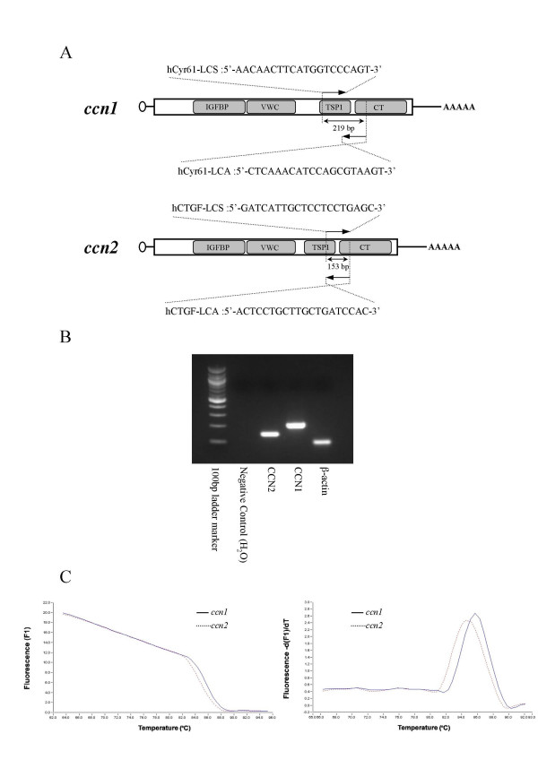 Distinctive quantification of ccn1 and ccn2 mRNA by real-time RT-PCR . A. Primers used for real-time PCR and the structures of human ccn1 and ccn2 mRNAs. Schematic representations are illustrated in reference to the modular structure of human CCN1 and CCN2 (stippled boxes). The small open circle and AAAAA at the left and right ends denote the 5'-cap structure and poly-A tail, respectively. Names, locations for recognition, nucleotide sequence of the primers, and the expected sizes of the PCR products are given. Abbreviations: IGFBP, insulin-like growth factor binding module; VWC, von Willebrand factor type C module; TSP1, thrombospondin type 1 repeat; CT, C-terminal module. B. The CCN1 (219 bp), CCN2 (153 bp), and β-actin (101 bp) PCR products amplified by LightCycler were analyzed by agarose electrophoresis. C. Melting curve analysis of the RT- PCR products of ccn1 and ccn2 . Melting curves were acquired after 45 cycles of amplification. Melting curve pattern is displayed on the left panel, where fluorescent intensity (F1) from SYBR green is plotted against temperature. Melting peak pattern can be found on the right panel, in which the decrement of F1 is plotted against temperature.