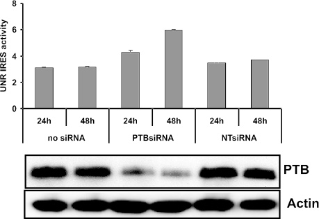 RNAi-mediated depletion of PTB in HEK293T cells stimulates UNR IRES activity. Di-pRF-UNR was transfected in HEK293T cells treated with PTB siRNA as described in Materials and Methods. Cells were analyzed 24 and 48 h after the last siRNA transfection for UNR IRES activity by measuring Rluc and Fluc activities, which are expressed as a ratio of Fluc to Rluc ( n = 2) ± SD. Bars are representative of two independent experiments. Western blot analysis of HEK293T cells treated with PTB siRNA or with a nonspecific RNAi duplex (NT siRNA) revealed that PTB expression was strongly reduced upon PTB siRNA transfection. Actin was used as an internal control.