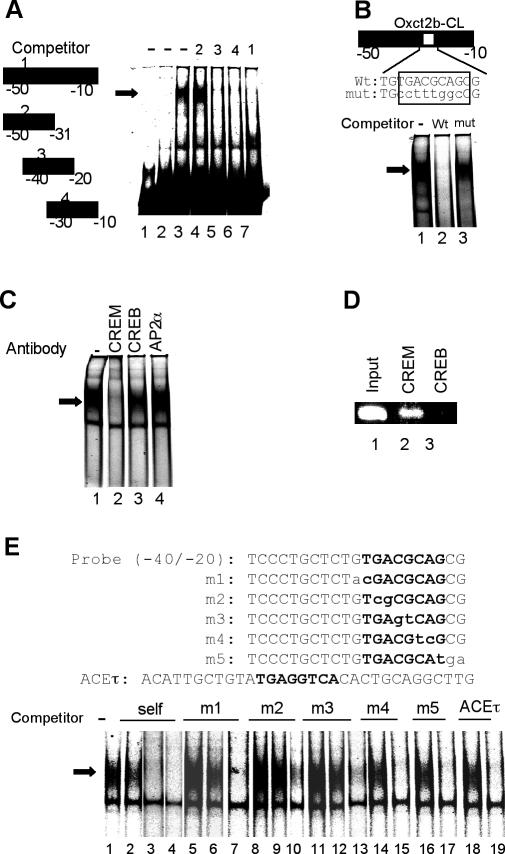 The Oxct2b core promoter binds specifically to CREM factor through an Oxct2b-CL motif. ( A ) The testis nuclear extract binds to the promoter (−50/−10) of the Oxct2b gene. Lane 1, without nuclear extract; lane 2, liver nuclear extract; lanes 3–7, testis nuclear extract without competitor (lane 3), in the presence of a 100-fold molar excess of unlabeled oligonucleotides 1 (lane 7), 2 (lane 4), 3 (lane 5) and 4 (lane 6), which are shown to the left as competitors. The arrow shows testis-specific protein binding. ( B ) The Oxct2b-CL element in the Oxct2b promoter (−50/−10) binds a testis-specific nuclear protein. A 100-fold molar excess of the unlabeled wild-type (wt) or mutated (mut) promoter fragment was used as the competitor. ( C ) The CREM factor binds to the Oxct2b promoter (−40/−20) in vitro . EMSAs were performed with testis nuclear extracts in the presence of anti-CREM, anti-CREB or anti-AP-2α antibodies, using a labeled promoter fragment that spanned −40 to −20. ( D ) The CREM factor binds to the Oxct2b promoter in germ cell nuclei. Formaldehyde-cross-linked chromatin prepared from testicular germ cells was immunoprecipitated with anti-CREM (lane 2) or anti-CREB (lane 3) antibodies. Fragments shown were amplified using PCR performed with specific primers for the Oxct2b promoter. A sample of the total input DNA (lane 1) was included in the PCR analysis. ( E ) The 5′-half of the Oxct2b-CL motif is responsible for binding the testis-specific protein. The nucleotide sequences of the wild-type probe (−40/−20), mutant competitor (m1–m5) and testis-specific ACEτ oligonucleotides are shown in the upper panel. The Oxct2b-CL motif and the positions of the mutations are shown in boldface and lowercase, respectively. The binding reactions were performed in the absence of unlabeled nucleotide (lane 1), and in the presence of a 1-fold (lanes 2, 5, 8, 11, 14, 16 and 18), 10-fold (lanes 3, 6, 9, 12, 15, 17 and 19) or 100-fold (lanes 4, 7, 10 and 13) molar excess of competito