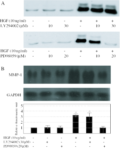 Effects of LY294002 and PD98059 on the HGF-induced MMP-1 expression ( A ) Human dermal fibroblasts were serum-starved for 24 h and pretreated with 10 or 30 μM LY294002, or 10 or 20 μM PD98059, for 1 h before the addition of 10 ng/ml of HGF for 72 h. Conditioned medium were subjected to immunoblotting with anti-MMP-1 antibodies. ( B ) The northern blot analysis of MMP-1 mRNA expression was performed. LY294002 (30 μM) or PD98059 (20 μM) was added 1 h before the addition of 10 ng/ml of HGF. After 24 h, cells were collected. Levels of GAPDH mRNA are shown as a loading control. MMP-1 mRNA levels quantitated by scanning densitometry and corrected for the level of GAPDH in the same samples are shown relative to the levels in untreated cells (1.0). One experiment representative of three independent experiments is shown. * P