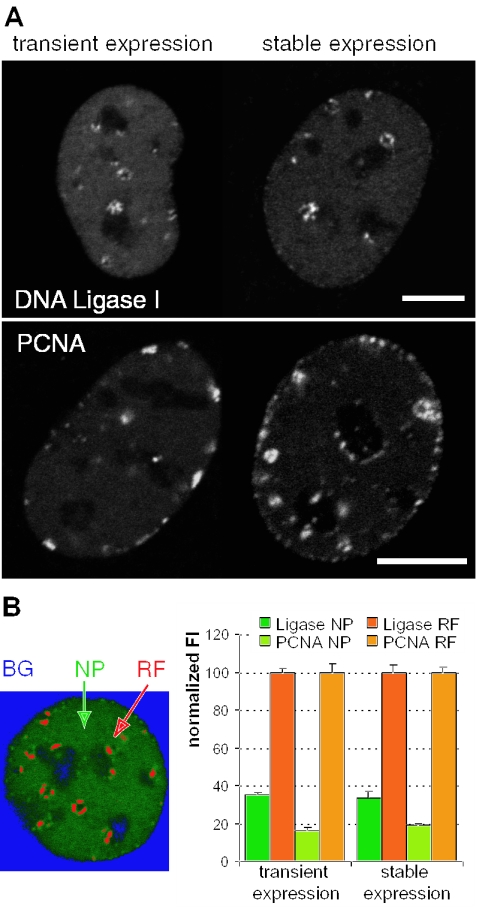 Ligase has a higher nucleoplasmic fraction than PCNA ( A ) Confocal images of live C2C12 cells in S-phase transiently or stably expressing GFP-Ligase or GFP-PCNA. ( B ) Quantification of NP and RF-bound protein (green/red in the false color image) by determining their mean FI ( n = 5 cells with 5–7 z slices). Scale bar, 5 μm.