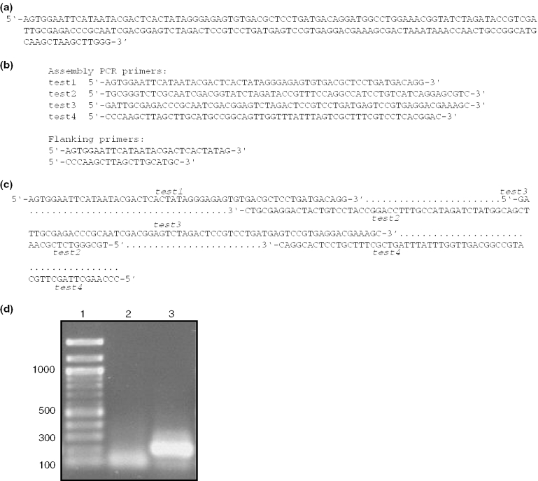 The construction of a 191-nt DNA molecule using the oligodeoxynucleotides determined by the Assembly PCR Oligo Maker program. ( a ) The sequence of the 191-nt DNA target to be produced. ( b ) The DNA sequences reported by Assembly PCR Oligo Maker program. Sequences for both steps of the assembly PCR reaction are reported. ( c ) Diagram showing how the four oligodeoxynucleotides anneal to produce the full-length dsDNA product ( d ) Agarose gel showing the results of the first (lane 2) and second (lane 3) PCR steps. The desired 191-nt molecule is visible after the second PCR step. DNA length markers are shown in lane 1.