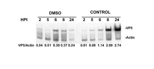PCR analysis of HSV-1 DNA replication in the presence or absence of DMSO. Total DNA was isolated from cultures of Vero cells infected with 1000 PFU of the dUTPase/LAT recombinant and the indicated hrs post-infection and amplified in the conditions described in Material and Methods. Aliquots of the amplified products were fractionated in 6% polyacrylamide gels in Tris-borate-EDTA and evaluated by densitometry.