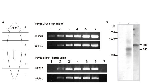 Analysis of PEVE distribution and expression in planarian body (A) Six fragments of the planarian body presented in the scheme were used to prepare first-strand cDNA and genomic <t>DNA</t> samples, which were subsequently employed for <t>PCR</t> with oligonucleotide primers for PEVE ORFs. Lines 1–6 correspond to the tissue samples taken as shown at scheme. PCR was performed with oligonucleotide primers for ORF2S (5'-caacgatagtcaccggaatgtca-3' and 5'-gcggctcctgtcttgagtcc-3') and ORF4L: (5'-ttttcatcagcatgtccgttcg-3' and 5'-cctcggttcaggcatctgtttc-3') Each PCR cycle included 95°C for 10 s, 64°C for 15 s and 72°C for 40 s. twenty one cycles were performed in the case of genomic DNA samples and twenty four cycles in the case of cDNA samples. Line 7 – negative control. RNA sample from zone 4 was used for RT-PCR without prior first-strand cDNA synthesis. (B) Northern blot analysis of the ORF2S (line 2) and ORF1L (line 3) transcripts. Line 1 – negative control. Hybridization with ORF2S probe was performed on RNA sample pre-treated with RNase A. M – marker, 0,16–1.77 kb RNA ladder (Gibco BRL).