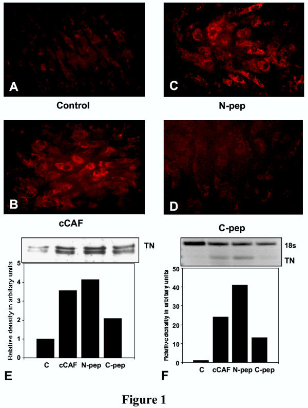 Effect of cCAF on TN levels in culture. (A-D) Embryonic connective tissue fibroblasts immunolabeled for TN. (A) In untreated cultures, some fibroblasts show a small amount of staining for this protein, which is characteristic of CEFs in culture. (B C) Cultures treated for 3 days with cCAF (B) or with the N-terminal peptide (C) show that more fibroblasts stain for TN and that the staining is more intense than for untreated cells. (D) Treatment of cells with the C-peptide has a smaller effect on the number of cells staining for TN. (E) Immunoblot analysis for TN to quantify the results observed in (A-D). All lanes contained equal amounts of total protein, as measured by the DC protein assay (BioRad). Cells treated with cCAF or the N-peptide for 3 days show higher levels of TN than untreated or C-peptide treated cells. (F) Northern blot analysis of TN mRNA. Fibroblasts were treated with cCAF or its terminal peptides, total RNA extracted using TRIzol reagent and RT-PCR was performed as described in Materials and Methods. Amplification of TN mRNA reveals a substantial increase inTN mRNA with cCAF and N-peptide treatments whereas the C-peptide stimulated a small increase. To quantify the amount of RNA present, an internal control against 18S rRNA was used.
