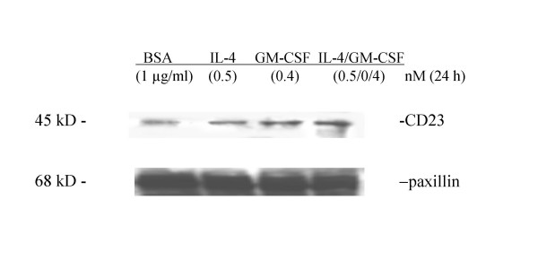 Western blot analysis of CD23 after stimulation of IL-4, GM-CSF, IL-4/GM-CSF . Alpha-smooth muscle isoactin positive huASMC (Clonetics) in T-75 flasks were starved for 24 h in 0.1% FBS containing medium M199. The cells were then stimulated with BSA (1 μg/ml) (vehicle control), IL-4 (0.5 nM), GM-CSF (0.4 nM), or IL-4/GM-CSF (0.5 nM/0.4 nM) for 24 h. The cell lysates in RIPA buffer were subjected to western blot analysis for CD23. Mouse anti-human CD23 monoclonal antibody (clone M-L233, BD Biosciences, 1 μg/5 ml) was used as the primary antibody and anti-mouse horseradish peroxidase linked antibody as the secondary antibody (Amersham). The immunoreactive protein bands were detected by enhanced chemiluminescence light (ECL) (Amersham). Paxillin mouse monoclonal IgG 1 (Transduction Laboratories) was used as an irrelevant isotype control.