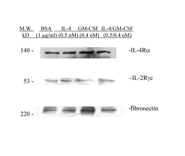 Upregulation of IL-2Rγc Expression in huASMC by IL-4 and IL-4/GM-CSF . Alpha-smooth muscle isoactin positive Human ASMC (Clonetics) in T-75 flasks were starved for 24 h in 0.1% FBS containing medium M199. The cells were then either stimulated with BSA (vehicle) (1 μg/ml), IL-4 (0.5 nM), GM-CSF (0.4 nM), or IL-4/GM-CSF (0.5 nM/0.4 nM) for 24 hours. The IL-4 and IL-4/GM-CSF stimulated cells had increased IL-2Rγc expression compared to the BSA (vehicle) group. Fibronectin polyclonal rabbit antibody (Sigma) (1:250) was used as an irrelevant isotype control.