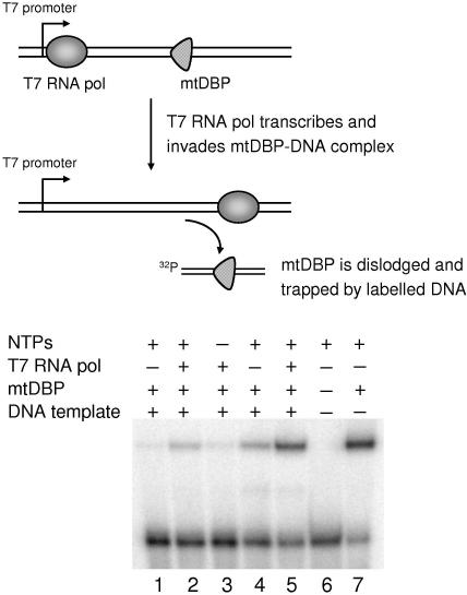 Fate of mtDBP when T7 RNA polymerase transcribes through mtDBP–DNA complex, as determined by combining RNA transcription with gel mobility shift assays. (Top) Diagrammatic representation of the experimental strategy. (Bottom) Autoradiogram of a 6% polyacrylamide gel showing the results of gel shift assay with the 32 P-labelled 46mer. Reactions were performed as described in Materials and Methods. DNA template:protein ratios were 1:6 and 1:13 in lanes 1–3 and 4–7, respectively. A transcription assay in the presence of [α- 32 P]UTP was performed in parallel (data not shown).