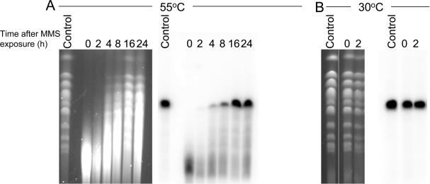 MMS produces heat-labile DNA damage in S.cerevisiae . PFGE of yeast chromosomes after a 0.5 h MMS treatment (0.05%) and treatment with proteinase K at 50°C ( A ) or at 30°C ( B ) for 24 h. Chromosomes were visualized by ethidium bromide or Southern hybridization to highlight chromosome VIII directly after MMS treatments or following repair as indicated.