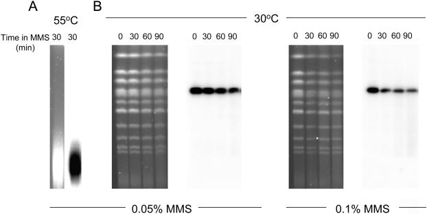 Double-strands breaks do not accumulate in rad52 cells treated with MMS. Chromosomes were visualized by <t>ethidium</t> bromide or Southern hybridization. ( A ) After exposing rad52 cells to 0.05% MMS for 30 min heating to 55°C, which causes massive chromosome fragmentation. ( B ) No chromosome fragmentation was observed in rad52 cells treated with either 0.05 or 0.1% MMS for 30–90 min.