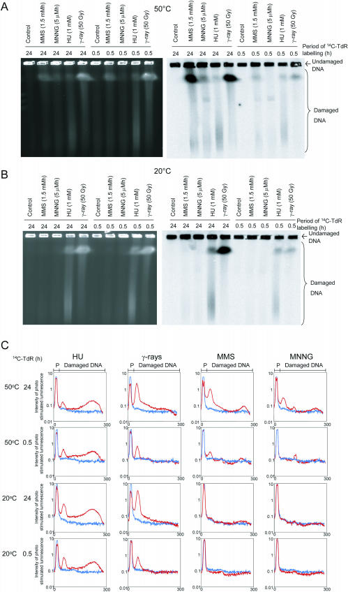 Alkylating agents induce DSBs randomly in DNA. The DNA of AA8 cells was labelled with 14 C-thymidine ( 14 C-TdR), either homogeneously for 24 h or specifically at sites of replication for 30 min, prior to exposure to 3 mM MMS, 10 μM MNNG, 2 mM HU or γ-rays (50 Gy). DNA was separated utilizing PFGE and visualized by ethidium bromide staining ( A ) and autoradiography ( B ).