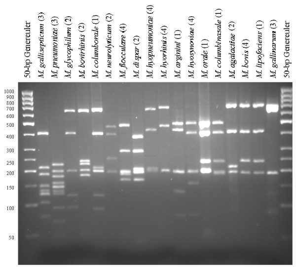 ARDRA profiles after restriction with Bfa I of 18 different Mycoplasma species. Since all samples of the same species gave identical restriction patterns, the number of strains tested for each species is indicated in parenthesis. A Generuler 50-bp ladder (Fermentas) was used as size-marker.