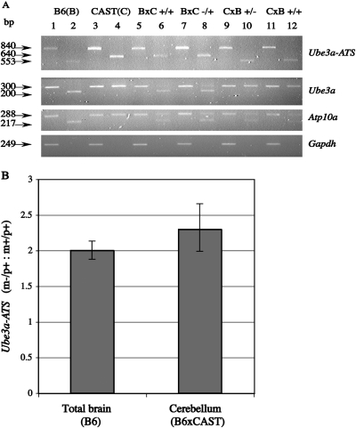 ( A ) Allele-specific RT–PCR expression analysis of Ube3a-ATS, Ube3a and Atp10a . RNA is extracted from the cerebellum of B6, CAST and the reciprocal F1 crosses: B6 × CAST (B × C) and CAST × B6 (C × B). The mutant Ube3a (−) allele is carried on the B6 background. The samples are subjected to RT–PCR analysis using primers that span a restriction enzyme polymorphism. RT–PCR fragments are divided into two aliquots that are either untreated (lanes 1, 3, 5, 7, 9 and 11) or cleaved with the diagnostic restriction enzyme (lanes 2, 4, 6, 8, 10 and 12). RT–PCR analysis of Ube3a-ATS is performed with primers in Ube3a exon 8 and intron 8, while primers in exon 8 and exon 9 ( 8 ) are used for Ube3a expression analysis (see text for details). Allele-specific analysis of Atp10a is based on the previously described MspI polymorphism ( 20 ). The B6 and CAST Ube3a-ATS alleles are detected as 553 and 640 bp fragments, respectively, upon Tsp509I digestion ( 8 ). Only the paternal Ube3a-ATS allele is detected in the mutant (lanes 8 and 10) and normal (lanes 6 and 12) samples. For Ube3a analysis, the B6 (200 bp) and CAST (300 bp) alleles are resolved after treatment with Tsp509I. Ube3a expression is predominantly maternal (lanes 6, 8, 10 and 12) in cerebellum. The B6 and CAST Atp10a alleles, corresponding to the 217 and 288 bp products, respectively, appear to show near equal levels of expression (lanes 6, 8, 10 and 12) suggesting bi-allelic expression of Atp10a . The Gapdh control is shown in the bottom panel. ( B ) Quantitative RT–PCR analysis of the Ube3a-ATS expression in normal and mutant mouse samples. Real-time RT–PCR amplification of Ube3a-ATS is performed using RNA from total B6 brain and from B6 × CAST cerebellum. The analysis is carried out with the iQ™ SYBR® green Super mix and iCycler iQ real-time detection system using the mutant (m−/p+) and normal (m+/p+) samples. The experiment is performed at least two times in triplicate with independent cDNA preparations and normalize