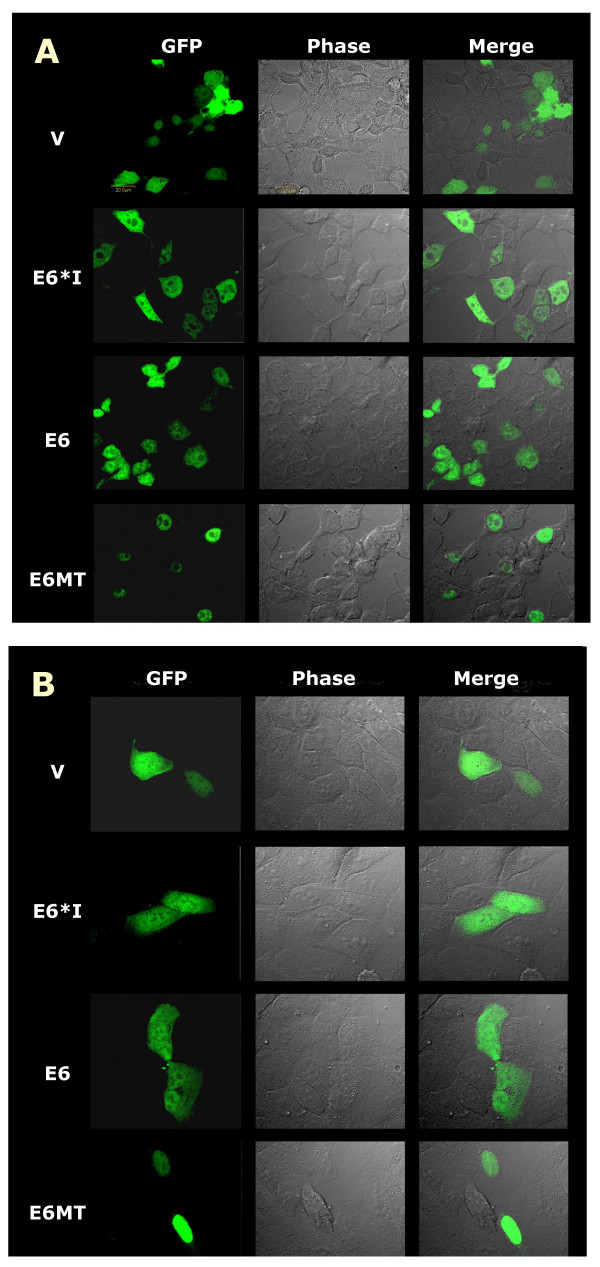 Cellular localization of HPV16 E6s in 293T (A) and HaCaT (B) . Cells were transiently transfected with plasmids expressing GFP, GFP-E6, GFP-E6*I and GFP-E6MT. Cells were grown and fixed with 4% paraformaldehyde in PBS on the coverslips at 48 h after transfection. The fluorescent images, phase contrast images and merge fluorescent-phase contrast images are shown. V indicates the pEGFP-C1 vector transfected cells. The scale bar represents 20 μm.