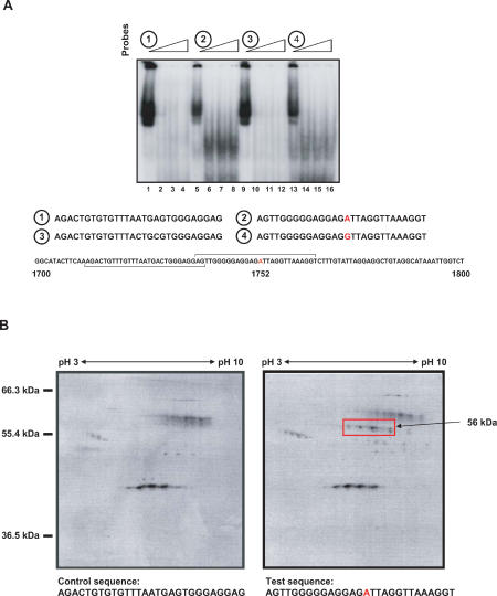 Evidence for the Involvement of a Host Cellular Protein in Enh II Activity and HBV Replication (A) Electrophoretic mobility shift assays were performed using HepG2 nuclear extracts with four different probes. Probe 1, lanes 1–4; probe 2 (1752A), lanes 5–8; probe 3, lanes 9–12; probe 4 (1752G), lanes 13–16. Each set of probes contains increasing concentrations (0.0 μg, 0.05 μg, 0.10 μg, and 0.15 μg) of non-specific competitor DNA [poly-(dI)-poly-(dC)], respectively. (B) 40 μg of nuclear protein extracts obtained from HepG2 cells was allowed to bind onto 5 mg Dynabeads M-280 streptavidin-biotin-oligonucleotides in the presence of 2:1 (w/w) ratio of non-specific competitor DNA poly (dI–dC). 1-D isoelectric focusing was followed by 2-D vertical separation on SDS-PAGE (10%). The estimated molecular weight of the specific protein spots detected by silver staining (arrow) is indicated.