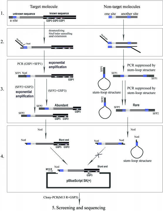 Schematic outline of SiteFinding-PCR method for chromosome walking. Known and unknown sequences are depicted with thick and thin lines, respectively. Blue segments show the expected SiteFinder targets. Gene-specific primers (GSPs) 1–3 can anneal with known sequences (white arrows). (1) Original genomic double-strand templates, showing target molecule and non-target molecules. (2) SiteFinding reaction: after low temperature priming by a SiteFinder, one strand of the target gene was replaced by long Taq DNA polymerase, which generated double-stranded target molecules of different lengths. (3) Nested PCR: the target DNA was exponentially amplified by nested PCR with GSPs and SiteFinder primers (SFPs) 1 and 2, while non-target gene amplification was suppressed by the stem–loop structure of the DNA. (4) Cloning target molecules: after being cleaved with NotI, the PCR products (generated by GSP2 and SFP2) were purified by agarose gel electrophoresis, and then the purified DNA was cloned into a pBluescript SK(+) vector linearized by NotI and EcoRV. (5) Screening and sequencing: the clones were screened by colony-PCR with the third gene-specific primer (GSP3) and a vector primer (M13 reverse primer or T3 primer), and the target molecules were screened out and sequenced subsequently.
