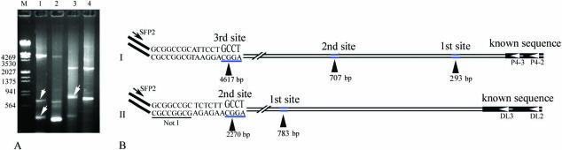 Chromosome walking for the Cyanophage P4 and an Arabidopsis mutant using the SiteFinding-PCR method. SiteFinder-1 was used to initialize the SiteFinding reaction. ( A ) Products of the secondary round of PCR (lanes 1–2 for P4 Cyanophage and 3–4 for Arabidopsis mutant). Lanes 1–4 contained PCR products obtained with primer couples SFP2/P4-2, SFP2/P4-3, SFP2/DL2 and SFP2/DL3, respectively. ( B ) Cloned and sequenced PCR products. Lanes 1 and 2 both showed three specific products (A), and the largest one in lane 1 was cloned and sequenced as indicated in (I). There were another two GCCT sites on the 4617 bp fragment of the Cyanophage P4 sequence, which are indicated with the black arrowheads in (I) (first site and second site). These findings were consistent with the gel electrophoresis results (white arrows in lane 1). Lanes 3 and 4 both showed two specific products (A), and the larger one in lane 3 was cloned and sequenced as indicated in (II). There was another GCCT site on the 2270 bp fragment of the Arabidopsis DNA as indicated with the black arrowheads in (II) (first site), which was also consistent with the gel electrophoresis (white arrow in lane 3).