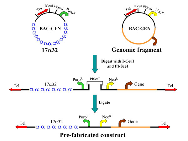 Strategy for construction of a bimolecular, prefabricated, linear HAC vector. Digestion of BAC-CEN and BAC-GEN vectors with the ultra-rare homing endonucleases I-CeuI and PI-SceI permits directional ligation of both