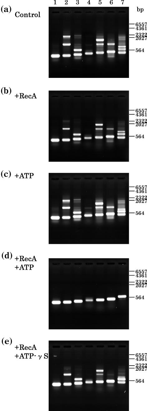 Effect of T.thermophilus RecA protein on PCR. PCR with Taq DNA polymerase ( ExTaq DNA polymerase plus 'hot start' antibody; Takara-bio) for several randomly selected sequences (300–650 bp) in human genomic DNA was carried out in the absence or in the presence of the Tth RecA protein. ( a ) Control, PCR under the standard conditions described in Materials and Methods. ( b ) Similar to (a), but with Tth RecA protein (0.4 μg per 25 μl reaction mixture). ( c ) Similar to (a), but with ATP (400 μM). ( d ) Similar to (a), but with Tth RecA protein (0.4 μg per 25 μl reaction mixture) and ATP (300 μM). ( e ) Similar to (a), but with Tth RecA protein (0.4 μg per 25 μl reaction mixture) and ATP-γS (300 μM). The products were electrophoresed and stained with ethidium bromide. Molecular weight markers are indicated on the right-hand side of these panels. The oligonucleotide sequences used for the primers were as follows: 5′-ACAATGGGCTCACTCACCCA-3′ and 5′-CTAAGACCAATGGATAGCTG-3′ for lane 1 (300 bp); 5′-GCTCAGCATGGTGGTGGCAT-3′ and 5′-CCTCATACCTTCCCCCCCAT-3′ for lane 2 (319 bp); 5′-GACTACTCTAGCGACTGTCC-3′ and 5′-GACAGCCACCAGATCCAATC-3′ for lane 3 (360 bp); 5′-AACCTCACAACCTTGGCTGA-3′ and 5′-TTCACAACTTAAGATTTGGC-3′ for lane 4 (400 bp); 5′-AGGCAACTAGGATGGTGTGG-3′ and 5′-CAGGGAGCGTGTCCATAGGG-3′ for lane 5 (450 bp); 5′-CTGCTGAAAGAGATGCGGTG-3′ and 5′-AGGAAAACAGCCCAAGGGAC-3′ for lane 6 (469 bp); and 5′-ACTTTGTTCTGAGCCTCACA-3′ and 5′-GTTGCCCAATCGCCCCTCTC-3′ for lane 7 (650 bp).