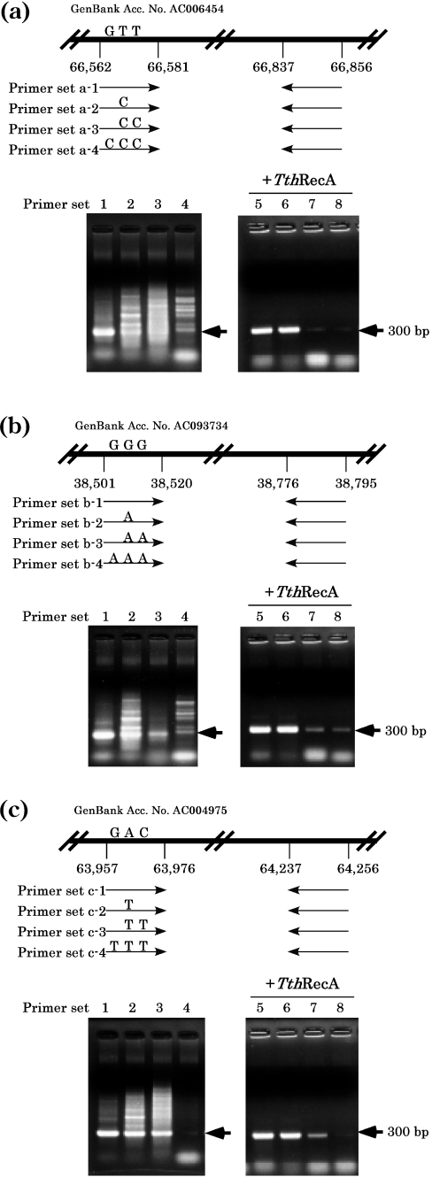 PCR with primers carrying mismatched bases. PCR was performed at two human genomic sites with primers (20 bp), one of which (forward primer) carried one, two or three mismatched bases in the middle of the primer, in the absence (left) or presence (right) of Tth RecA protein and ATP using the Taq DNA polymerase ( rTaq DNA polymerase plus 'hot start' antibody). ( a ) Upper panel: a diagrammatic representation of the location of the PCR site (20 bp between nt 66 562 and nt 66 581 in GenBank accession no AC006454 ) and of the primers. Lower panel: lanes 1 and 5, PCR products using primers without mismatched bases (primer set a-1); lanes 2 and 6, PCR products using primers (primer set a-2 with one mismatched base at nt 66 566, T to C); lanes 3 and 7, PCR products using primers (primer set a-3 with two mismatched base at nt 66 566 and nt 66 571, both T to C); and lanes 4 and 8, PCR products using primers (primer set a-4 with three mismatched base at nt 66 566 and nt 66 571, T to C and nt 66 576, G to C). The oligonucleotide sequences used for the forward primers (mismatched bases are underlined) are as follows: primer set a-1, 5′-CATGGCACCTGCTCTGAGAC-3′; primer set a-2, 5′-CATGGCACC C GCTCTGAGAC-3′; primer set a-3, 5′-CATGGCACC C GCTC C GAGAC-3′; and primer set a-4, 5′-CATG C CACC C GCTC C GAGAC-3′. ( b ) Upper panel: a diagrammatic representation of the location of the PCR site (20 bp between nt 38 501 and nt 38 520 in GenBank accession no. AC0937734 ) and of the primers. Lower panel: lanes 1 and 5, PCR products using primers without mismatched bases (primer set b-1); lanes 2 and 6, PCR products using primers (primer set b-2 with one mismatched base at nt 38 505, G to A); lanes 3 and 7, PCR products using primers (primer set b-3 with two mismatched base at nt 38 505 and nt 38 510, both G to A); and lanes 4 and 8, PCR products using primers (primer set b-4 with three mismatched base at nt 38 505, nt 38 510 and nt 38 515, all G to A). The oligonucleotide sequences used for the forward primers are as follows: primer set b-1, 5′-ATCTGTGTGGTTCGGCTCTG-3′; primer set b-2, 5′-ATCTGTGTG A TTCGGCTCTG-3′; primer set b-3, 5′-ATCTGTGTG A TTCG A CTCTG-3′; and primer set b-4, 5′-ATCT A TGTG A TTCG A CTCTG-3′. ( c ) Upper panel: a diagrammatic representation of the location of the PCR site (20 bp between nt 63 957 and nt 63 976 in GenBank accession no. AC004975 ) and of the primers. Lower panel: lanes 1 and 5, PCR products using primers without mismatched bases (primer set c-1); lanes 2 and 6, PCR products using primers (primer set c-2 with one mismatched base at nt 63 961, A to T); lanes 3 and 7, PCR products using primers (primer set c-3 with two mismatched base at nt 63 961 and nt 63 966, A to T and C to T); and lanes 4 and 8, PCR products using primers (primer set c-4 with three mismatched base at nt 63 961, nt 63 966 and nt 63 971, A to T, C to T and G to T). The oligonucleotide sequences used for the forward primers are as follows: primer set c-1, 5′-GCAGGCACCAAGAACTACTG-3′; primer set c-2, 5′-GCAGGCACC T AGAACTACTG-3′; primer set c-3, 5′-GCAGGCACC T AGAA T TACTG-3′; and primer set c-4, 5′-GCAG T CACC T AGAA T TACTG-3′. The sequences for the backward primers are 5′-TCACCTCCCAGCCTGGCCCA-3′ for ( a ), 5′-AGGGAGATGTTCTCATAAAT-3′ and 5′-CTGTAAGTGGCAGACATTAC-3′ for ( b ). Nucleotide numbers correspond to registries in GenBank. Locations of the specific PCR products are indicated by arrows.