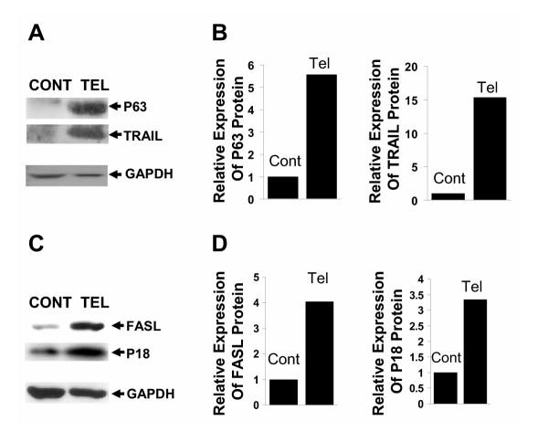 Induction of apoptosis proteins following treatment of SEG-1 cells to telomerase specific siRNAs. SEG-1 cells, transfected with control (Cont) or telomerase specific (Tel) siRNAs were cultured for two weeks and analyzed for protein expression by western blotting. The expression of p63, TNF-related apoptosis inducing ligand (TRAIL), TNF ligand superfamily, member 6 (FASL), and p16 was monitored using mouse monoclonal anti-p63 (Zymed), rabbit polyclonal anti-TRAIL (Santa Cruz), mouse monoclonal anti-FASL (Cell Science), and mouse monoclonal anti-p16 (Sigma) antibodies, respectively. A. Western blot showing expression of p63 and TRAIL in control (Cont) and telomerase (Tel) siRNA treated cells. B. Bar graph showing relative expression of p63 and TRAIL following normalization with glyceraldehyde-3-phosphate dehydrogenase (GAPDH). C. Western blot showing expression of FASL and p16 in control (Cont) and telomerase (Tel) siRNA treated cells. D. Bar graph showing relative expression of FASL and p16 following normalization with glyceraldehyde-3-phosphate dehydrogenase (GAPDH).