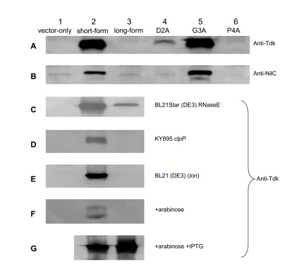 Immunoblot analysis of protein production using anti-Tdk serum (panels A and C-G) or anti-NilC serum (panel B). E. coli KY895 (panels A, B, F, G), <t>BL21</t> Star™ (DE3) (panel C), KY895 clpP (panel D), or BL21 (DE3) (panel E) carrying plasmids pTara and pET-28a(+) (vector-only; lane 1), pETSTdk or pETSNilC (short-form; lane 2), pETLTdk or pETLNilC (long-form; lane 3), pETMAGPTdk or pETMAGPNilC (D2A change; lane 4), pETMDAPTdk or pETMDAPNilC (G3A change; lane 5) or pETMDGATdk or pETMDGANilC (P4A change; lane 6) was grown overnight in LB/kan/cam and separated cellular proteins were subjected to immunoblot analysis with the indicated antiserum. Arabinose (0.2%) was added to the culture medium for the strains in panels F and G, and IPTG (0.2 mM) was added to the culture medium for the strains in panel G. Similar volumes of cultures were used in each lane but cultures were not normalized for optical density or overall protein concentrations.