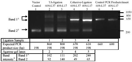 PCR products from ligation mixtures using vector specific primers M13-R    M-13F.  Electrophoresis on 1.2 % agarose gel and staining with Ethidium Bromide. A: Band 1 derived from recombinants and Band 2 from relegated pCR 2.1 vector. Lane 2    3 has two types of recombinant specific products and both were used for calculation band intensity/amount. B: PCR product amounts calculated as corresponding band intensity (mean grey value) using ImageJ 1.33 software  (http://rsb.info.nih.gov/ij) .
