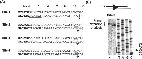 Identification of the PstII cleavage loci using four sites with different flanking sequences. ( A ) Sequences of sites 1 and 2 from pLJP11b ( Figure 2B ), site 3 from pLJP12c and site 4 from pLJP12d. PstII recognition sequence in bold, shared flanking sequences underlined. Cleavage loci are indicated by an arrow. ( B ) Representative denaturing PAGE (site 2) showing separation of primer extension products following PstII cleavage. See main text for full details. A 32 P-labelled DNA generated by single round primer extension was cut with PstII to give a labelled product as shown (lines represent DNA, arrowhead represents PstII site as in Figure 2A ). Sample '−' was then run directly on the gel, whilst sample '+' was first treated with Klenow polymerase. Sizes of the resulting fragments were compared to sequencing reactions produced using the same primer. For presentation purposes the brightness and contrast of the digital images were differentially adjusted using a linear intensity scale to increase the relative contrast of the labelled fragments.