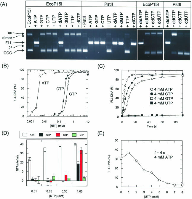 Nucleotide requirement and NTPase activity of PstII. ( A ) Comparison of nucleotide usage of EcoP15I and PstII. A total of 5 nM substrate (pMDS34a or pLJP11b) was incubated with saturating enzyme in the presence of 4 mM nucleotide as shown for 1 h at 37°C. DNA substrates (CCC, dimer, OC) and product fragments [OC, FLL, ( 2 )] were then separated by agarose gel electrohporesis. Two cleavage produces two linear fragements, the smaller of which was not resolved on these gels. ( B ) Apparent binding efficiency of ATP, CTP and GTP. PstII mixture (129 nM) was incubated with 5 nM pLJP11b and increasing concentrations of NTP as indicated for 1 h at 37°C. The substrate and product fragments were separated by agarose gel electrophoresis and quantified by scintillation. The appearance of FLL product is shown. ( C ) Effect of nucleotide identity upon rate of cleavage. PstII mixture (129 nM) was incubated with 5 nM pLJP11b and 4 mM NTP as indicated at 37°C. Aliquots were removed from the reactions and quenched at the timepoints indicated and the percentage of FLL product determined as in (B). Nucleotide hydrolysis of PstII measured using an NADH coupled assay [see Materials and Methods, ( 27 )] ( D ). PstII mixture (129 nM) was incubated with 1 nM DNA (pSKfokI or pAT153) and NTPs as indicated at 37°C and the change in A 340 measured over 1 h. The site-specific rate was obtained from the difference between the non-specific (pSKfokI) and specific (pAT153) rates (Materials and Methods). Error bars represent the standard error of two repeat experiments. ( E ) PstII mixture (129 nM) was incubated for 4 s with 5 nM pLJP11b, 4 mM ATP and increasing concentrations of UTP as indicted. The proportion of FLL DNA was determined as above.